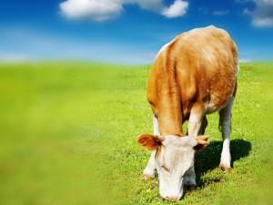 Gras laitiers